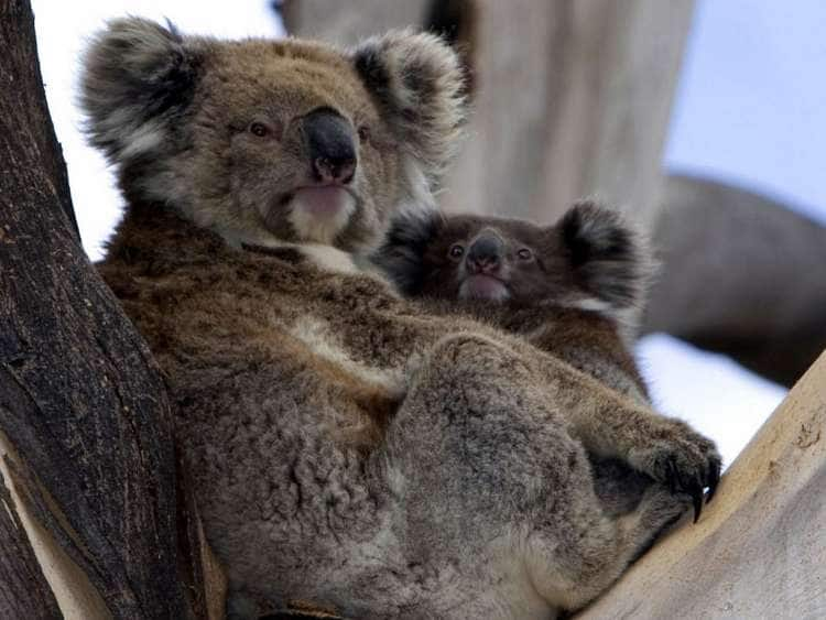 South Australia, Kangaroo island, mother and baby Koala in an eucalyptus