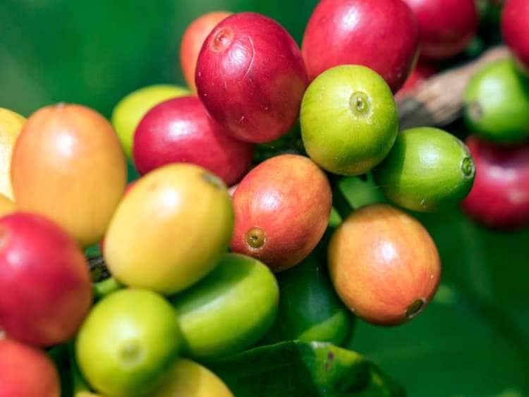 Coffee Beans, Hula Daddy Kona Coffee Farm, Holualoa, Big Island, Hawaii, USA