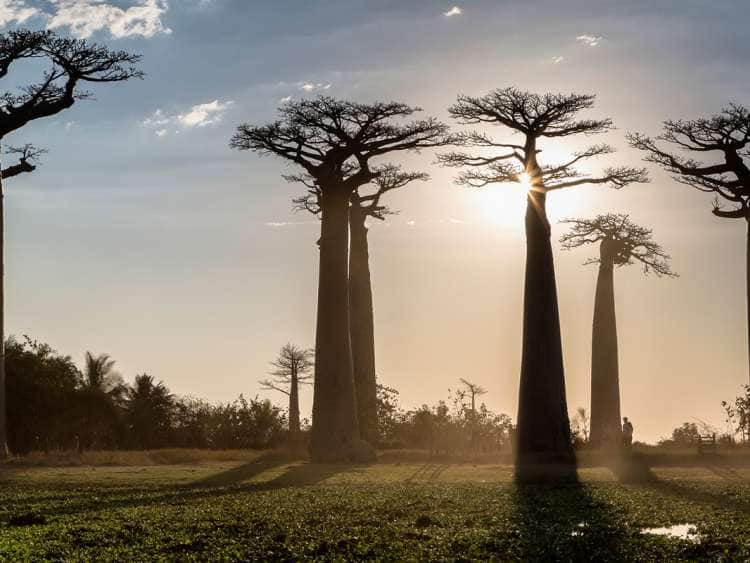 Madagascar, Toliara, Morondava, Indian ocean, Les Allee des Baobabs at sundown