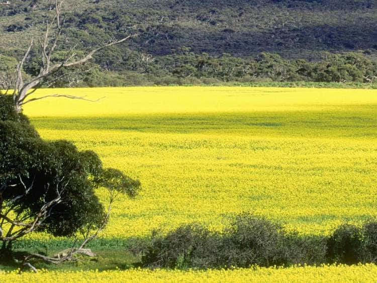 Australia, South Australia, Eyre Peninsula, Oceania, Canola plantations along the Flinders Highway, between Port Lincoln and Ceduna