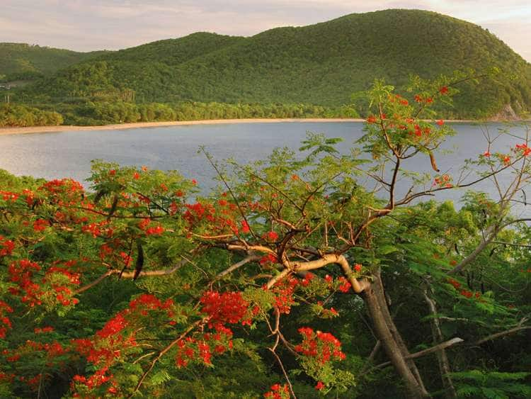 French Antilles, Caribbean, Guadeloupe, Basse Terre, Deshaies, view of Grand Anse beach with flame tree.